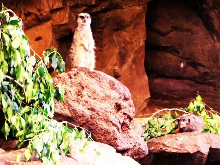 Meerkat, Omaha Zoo
