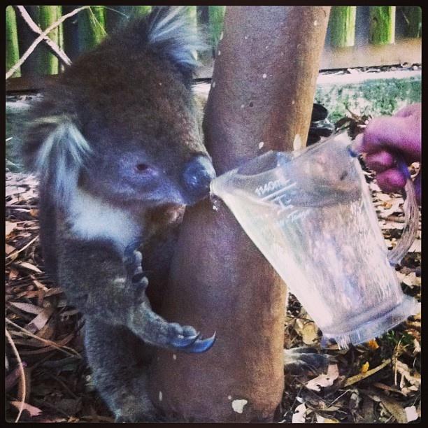 Thirsty visitor.. #koala #wildlife #showmemv #mcvale