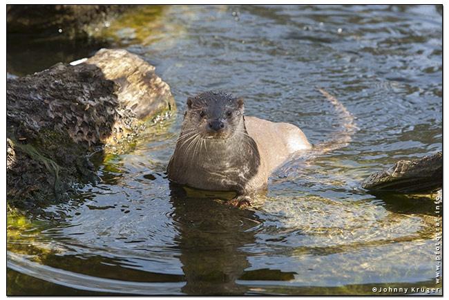 Arbeiten für den Tierkalender 2014 - Works for the animal calendar 2014. Copyright Johnny Krueger - www.pfotograf.info - lynx - luchs