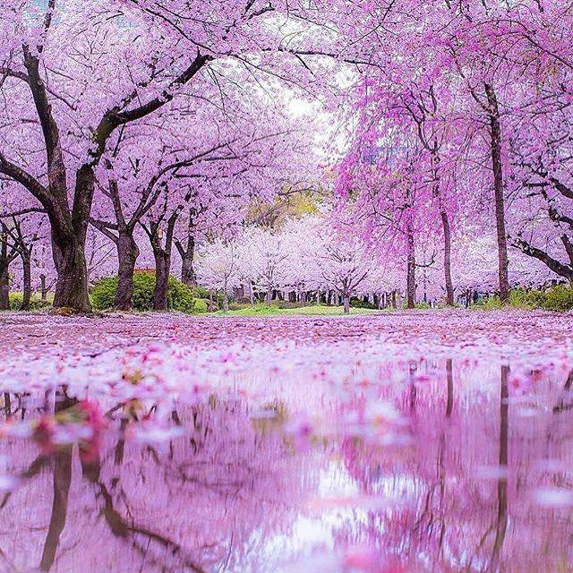 Photo From Visitjapanau Hanami Sakura Explorejapan Japanawaits Instagramjapan Japan Japantrip Japantravel Bunga Sakura Pemandangan Fotografi Alam