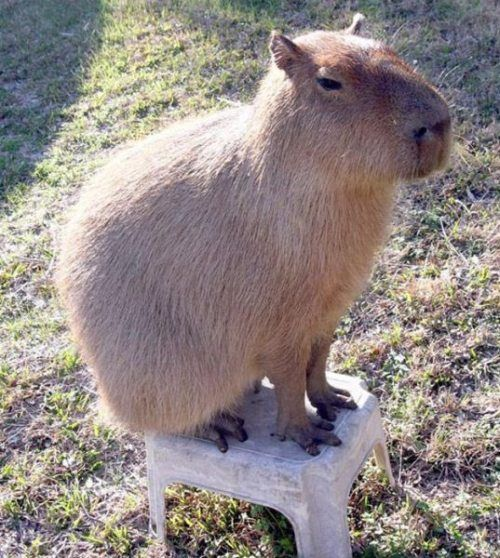 capybara essay  tested the patience of sfgate readers with one enormous essay this week,   easily the scariest thing in the zoo for me are the capybara, the.
