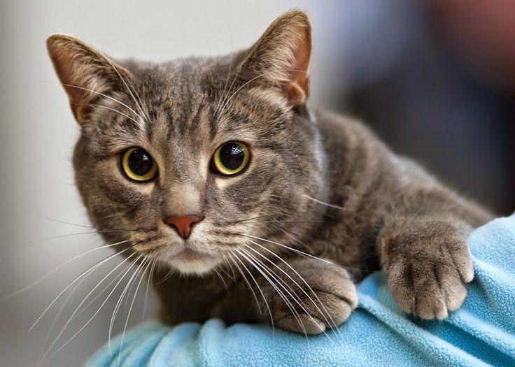 Pisica American Shorthair Imagini Hd Poze Rase De Pisici Apartament Si Casa Imagini Cu Animale