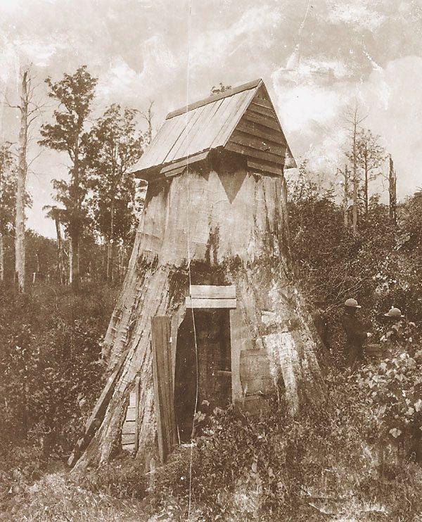 Giant tree, utilized as a house at Wynstay, South Gippsland, Victoria, Australia.   ca.1878-1900. v@e.
