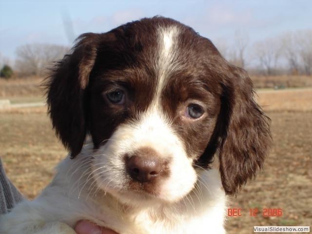 brittany spaniel puppy, I want a Brittany spaniel!!