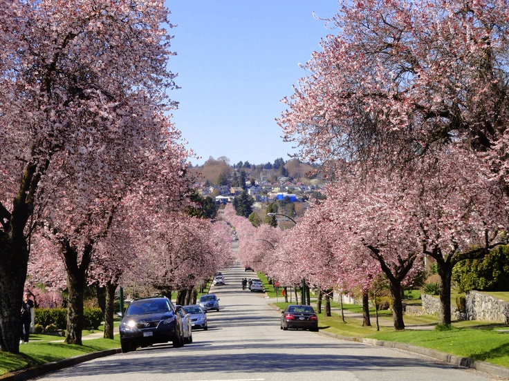 Cherry Blossoms - Vancouver, BC.