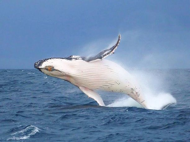 Port Stephens, Port Stephens, Australia - It's whale season!! Jump...