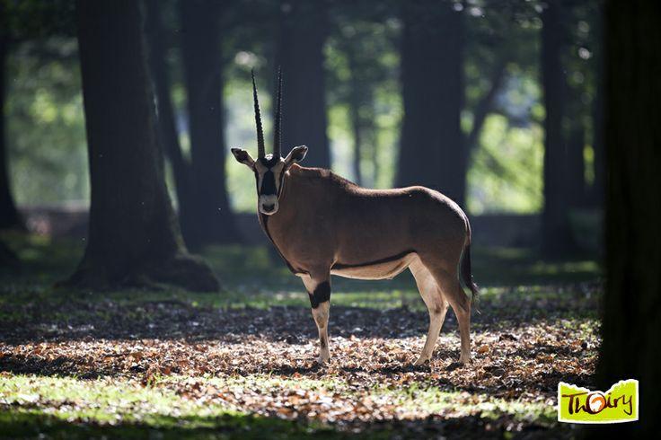 Oryx d'Arabie - Parc à pied - Parc Zoologique de Thoiry