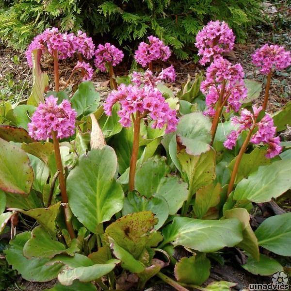Bergenia cordifolia (algemeen) - Schoenlappersplant