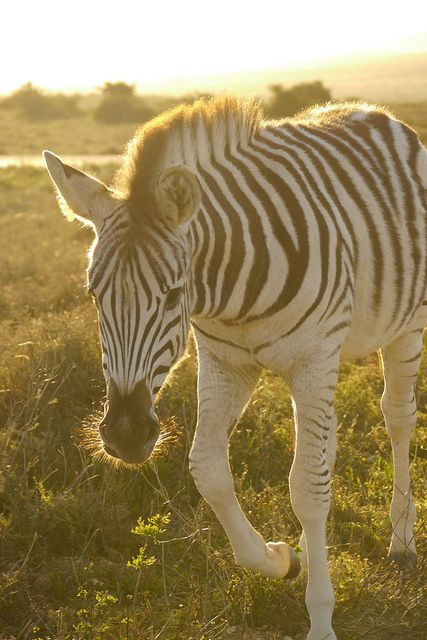 Zebra - late afternoon