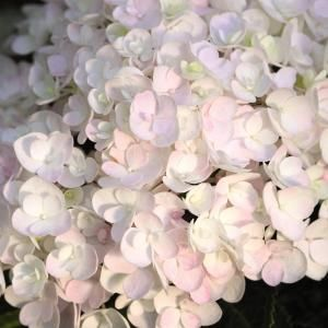 Blushing Bride Hydrangea endless summer. Partial shade. Bloom from late spring till fall.