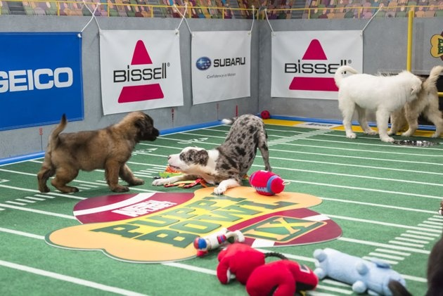 I love the ones in the back sniffing each other's butts. LOL! - Puppy Bowl IX