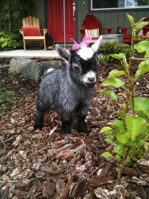I want a baby goat with a pink bow❤