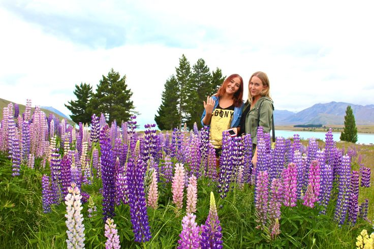 Amid the flowering lupins at the edges of Lake Tekapo | http://wander-full.com/2013/07/26/greetings-from-middle-earth/
