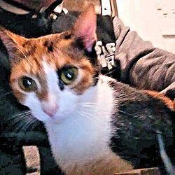 Cherry Hill, New Jersey - Calico. Meet Teardrop, a for adoption. https://www.adoptapet.com/pet/20396992-cherry-hill-new-jersey-cat