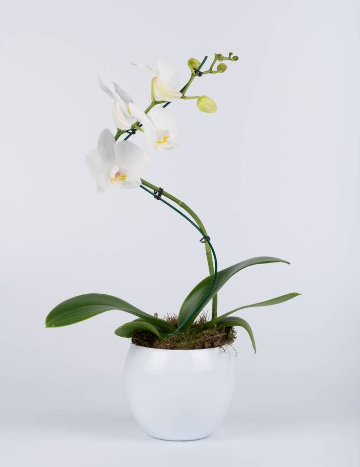 Vlinderorchidee White Curve in pot