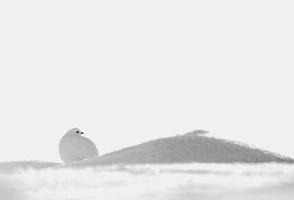 Bird and snow in Lapland - prints for sale