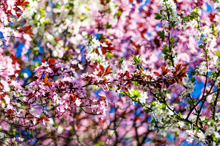 Intertwined - Intertwined blossoming trees creating a colorful scenery.