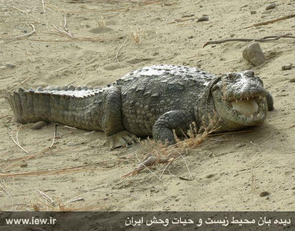 Gando Crocodile (Crocodylus palustris) Chabahar, Bahu-kalat District, Sarbaz county, Sistan & Baluchestan, IRAN (Persian: گاندو یا تمساح پوزهکوتاه, سایت تحقیقاتی ریکوکش, منطقه باهوکلات شهرستان سرباز، استان سیستان و بلوچستان)