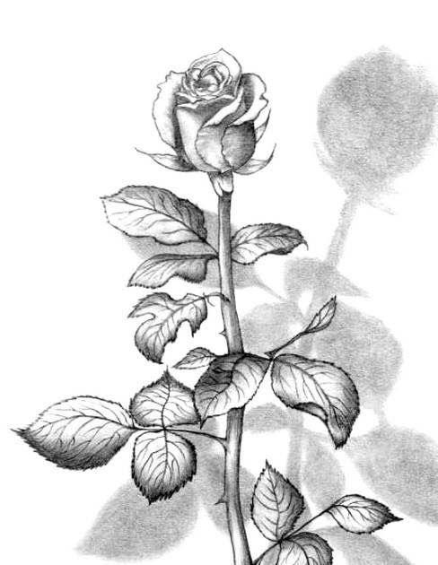 Gambar Sketsa Bunga Mawar Termasuk Mudah Untuk Digambar Gambar Sketsa Ini Dapat Kamu Buat Dengan Cara Melihat Langsung Bent Sketsa Lukisan Gambar Lukisan Bunga