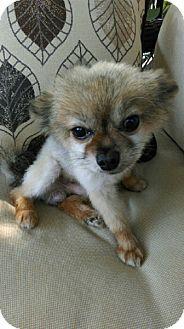 Overland Park, KS - Pomeranian. Meet Cinnamon, a dog for adoption. http://www.adoptapet.com/pet/11482617-overland-park-kansas-pomeranian