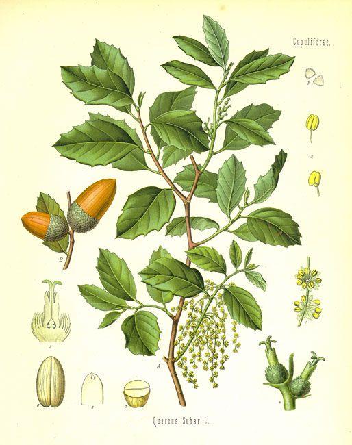Quercus suber (Sobreira, Alcornoque)