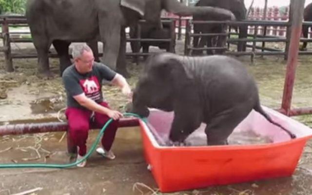 Star del Web, il buffo elefantino durante il bagnetto #elefante #star #web #video