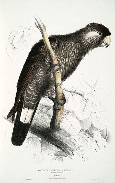 Calyptorhynchus baudinii. Baudin's cockatoo