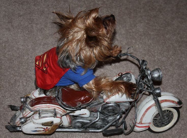 https://flic.kr/p/AaYnmQ | Vroom Vroom and Away.. | Even Super Dog  Owns A Harley- Davidson..Ride Ride Ride