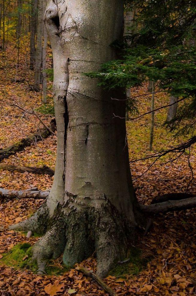 The american beech fagus grandifolia is a large and