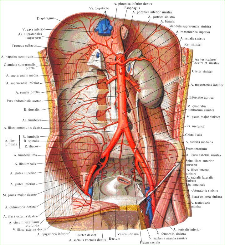 2604 best anatomia images on Pinterest | Human body, Human anatomy ...