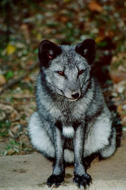 Blue Arctic fox