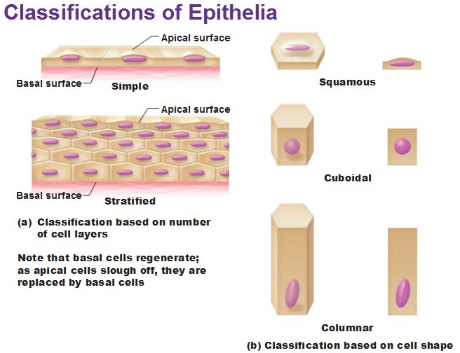 classifications of epithelia epithelial tissue