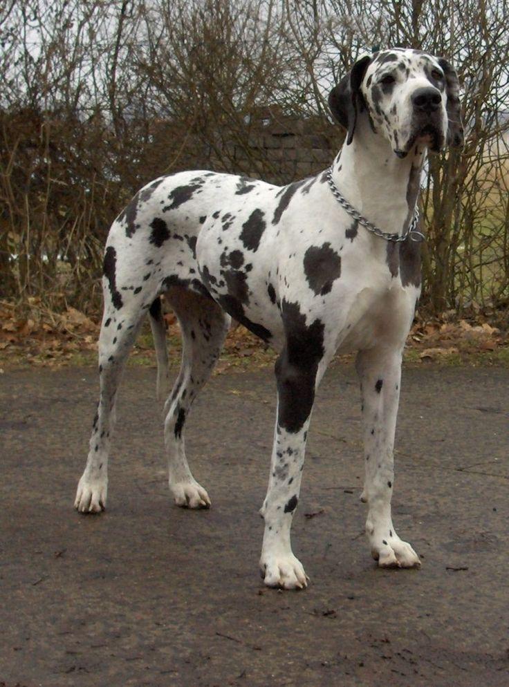 ¿Conoces las 10 razas de perros más grandes del mundo?