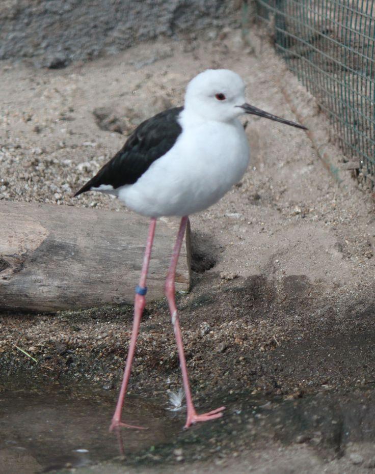 Ejemplar de cigüeñuela en las instalaciones del Parque Zoológico Ornitológico de Avifauna