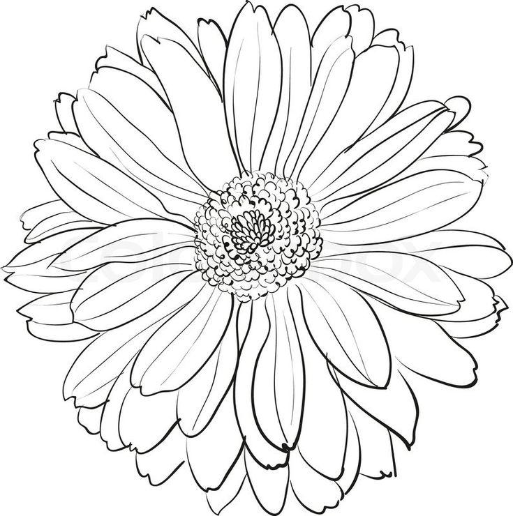Chrysanthemum 3 renior spider chrysanthemum drawing