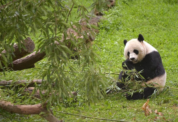 Panda Mei Xiang munches on a snack during her baby Bao Bao's first birthday ceremony at the National Zoo in Washington, DC, on Aug. 23.
