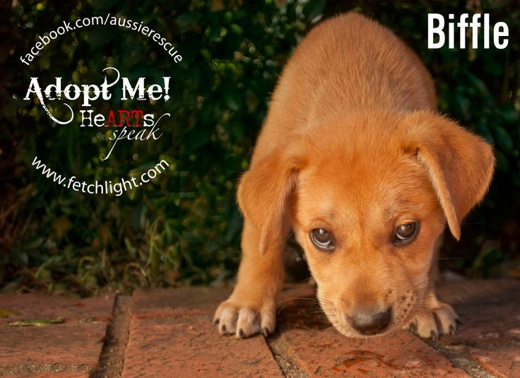 week old Lab Shepherd mix puppies are available to adopt from Aussie ...