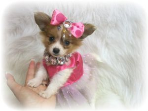 Papillon Puppies For Sale: ~~Micro Tiny Teacup Papillons~~~