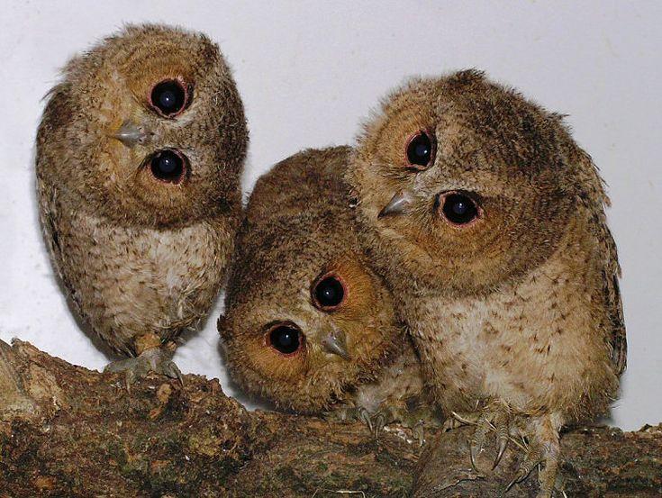 Indian Scops Owls (Otus bakkemoena) brood of young. Photo by Peter Otten.