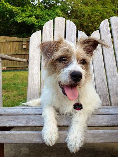Asta... My baby girl     Wire haired jack russell terrier mix breed.    Check out her Instagram page for more great pics. Asta_N_Cooper.