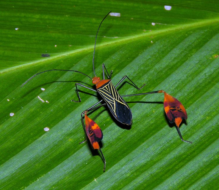 BANNER OR LEAF-FOOTED BUG Anisoscelis sp. Panama ©artour_a Coreidae are a large family of predominantly herbivorous insects that belong in the hemipteran suborder Heteroptera. There are more than 1,800 species in over 250 genera. They vary in size...