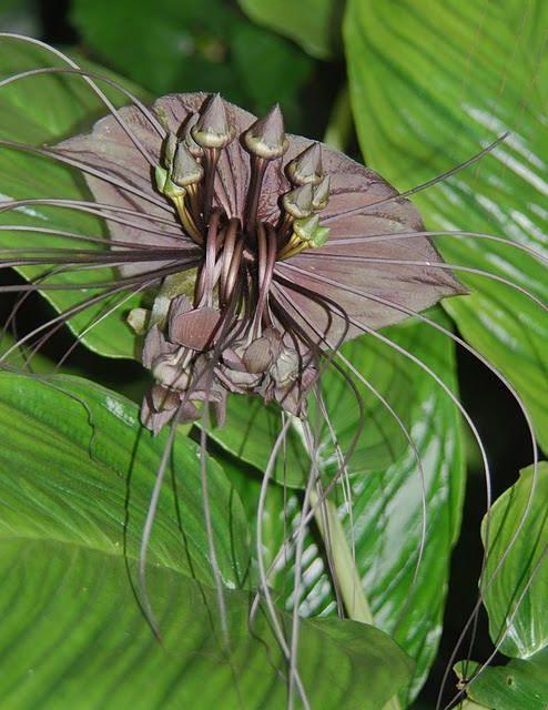 Curiosities: The Bat Flower
