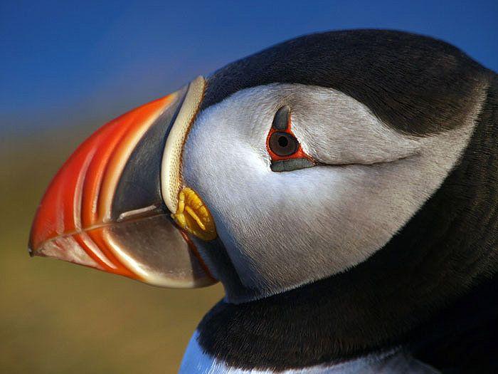 Papageitaucher wurde in Island, Breidavik aufgenommen und hat folgende Stichwörter: Island,  Papageitaucher,  Papageientaucher.