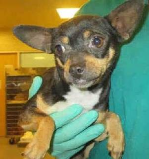 Chihuahua dog for Adoption in Bellevue, WA. ADN-447953 on PuppyFinder.com Gender: Female. Age: Young
