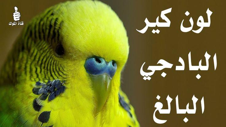 لون كير البادجي البالغ Budgies Parrot Animals
