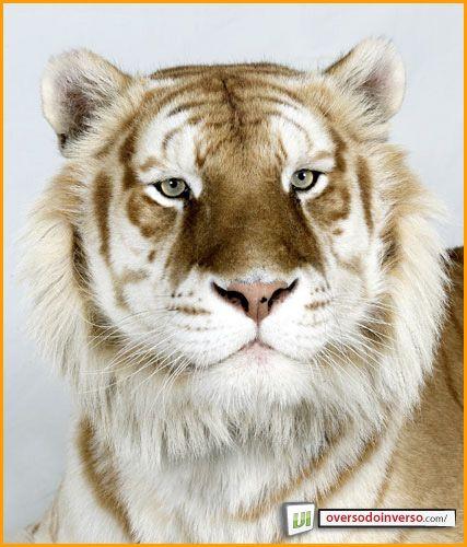 Tigre dourado (Panthera tigris)
