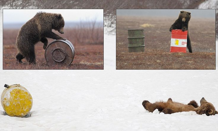 Russian bears who are so addicted to aviation fuel they sniff it until they pass out