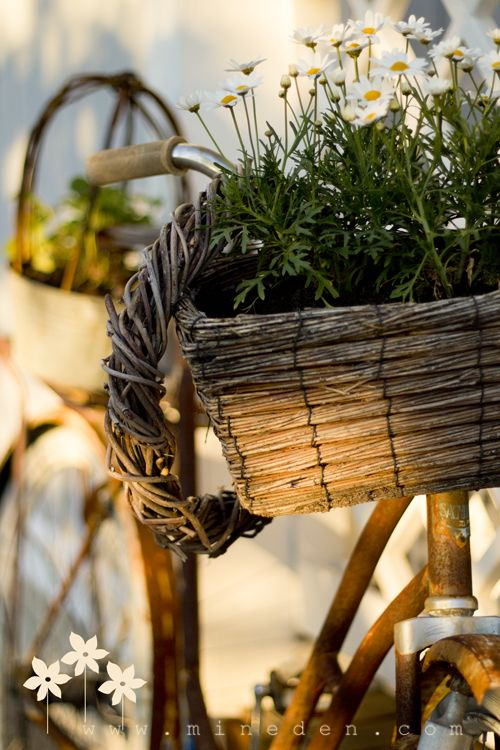 Rustic bike with daisies in the basket...