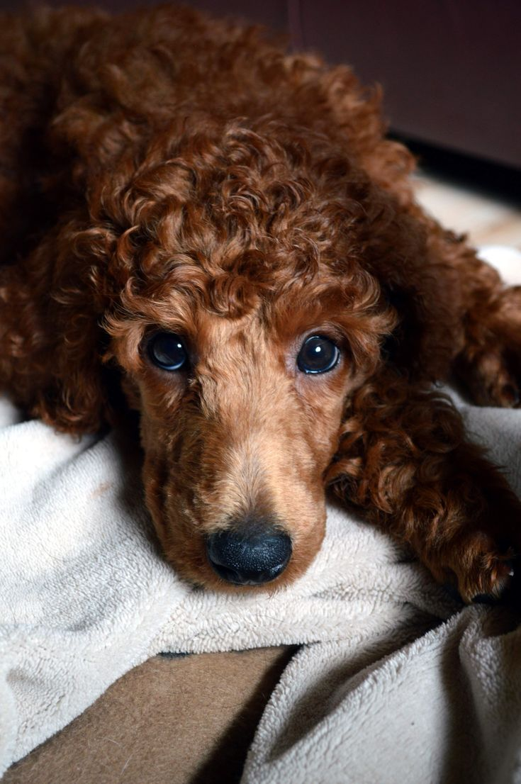 Maple Roux -a Red Standard Poodle puppy @ 8 weeks -- Pretty, pretty baby!
