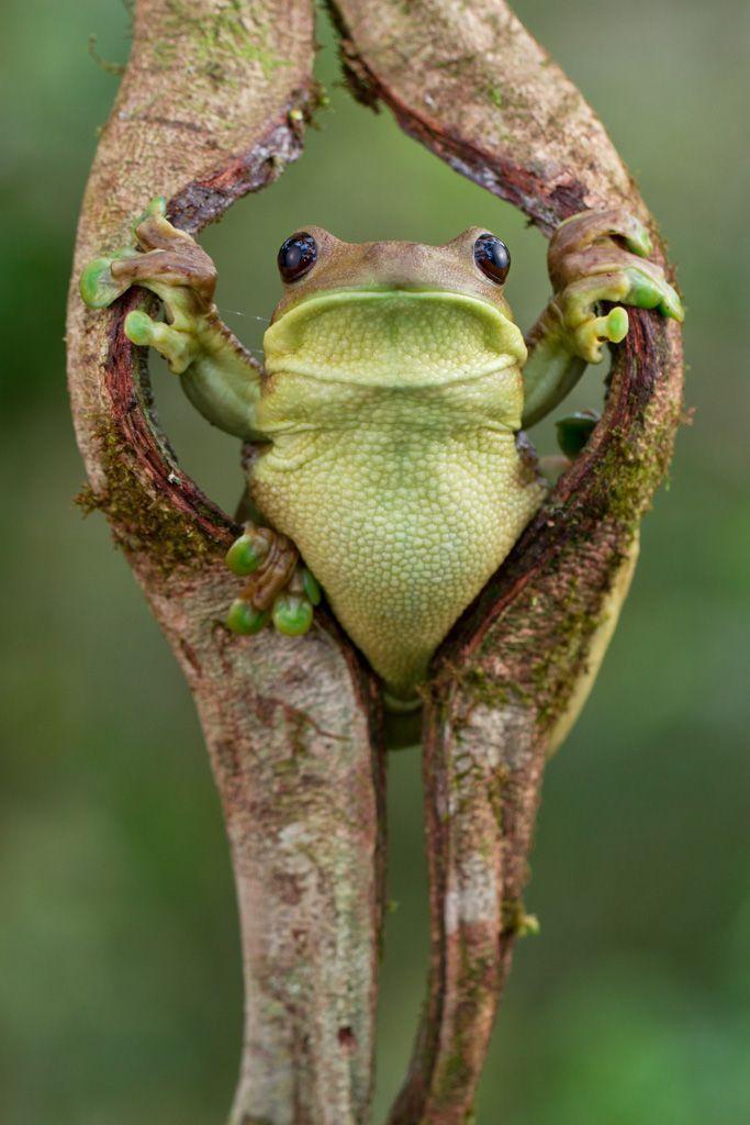 Trachycephalus_typhonius. (The Frog Hulk!)